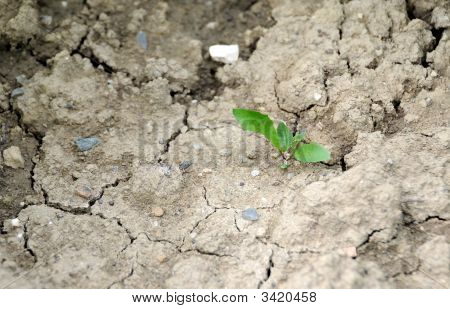 Sprout In The Dry Soil