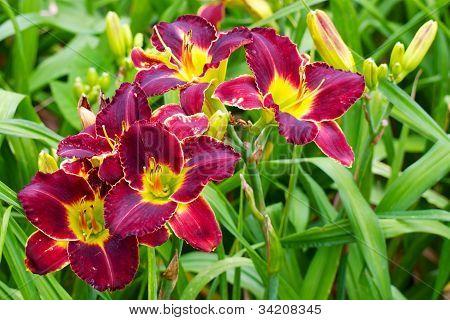 Burgundy Daylilies
