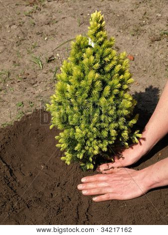 Planting Spruce