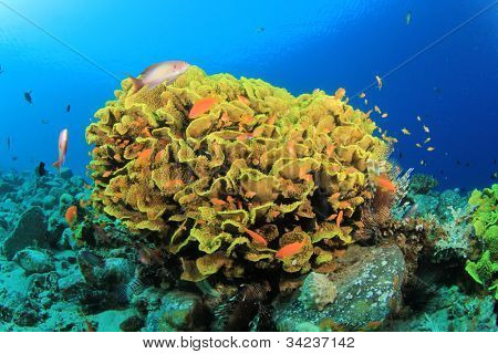 Beautiful Coral Reef Underwater