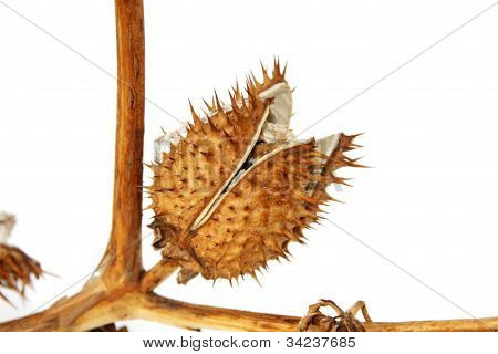 Dry Brugmansia Fruit On A White Background