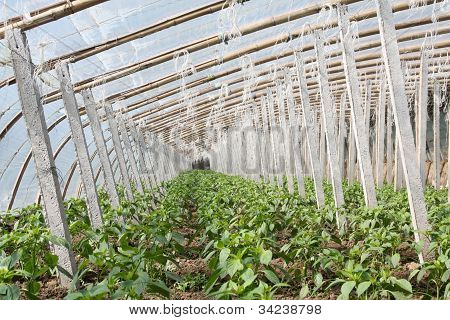 Vegetable Greenhouses