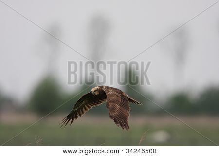 Western Marsh Harrier, Circus aeruginosus