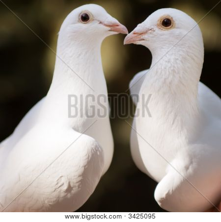 White Pigeons Couple