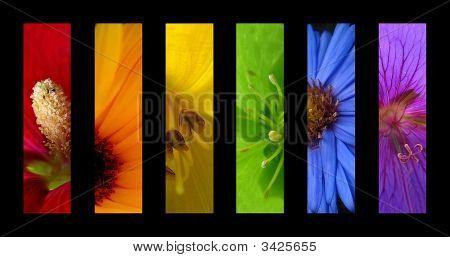 Flor arco-íris