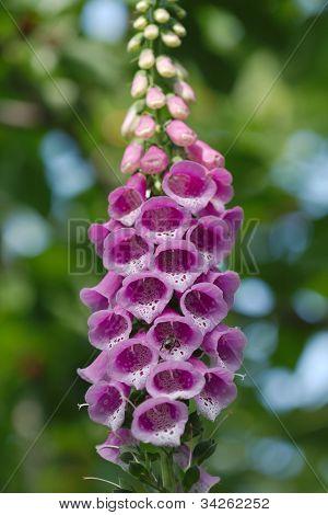 Flower Foxglove, Lat. Digitalis Purpurea