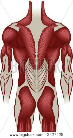 Illustration Of The Muscles Of The Back