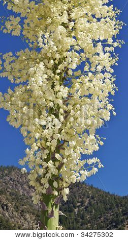 Yucca plant blooms against blue sky