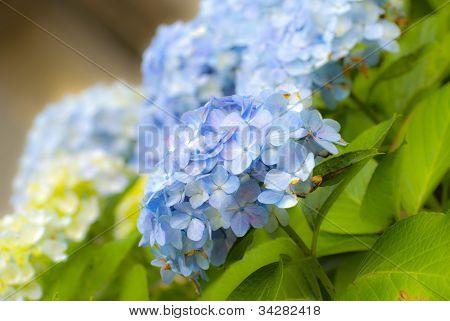 Hydrangea Hortensia Ajisai Plant