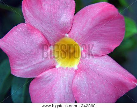 Diplaodenia