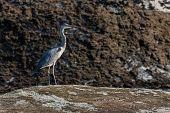 Gray Heron In Its Natural Environment In Its Natural Environment. poster