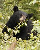 Hungry Black Bear