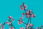 Pink Blossoms On Sakura Branch In Springtime Blooming On Turquoise Sky Background. Spring Flowers Bl poster