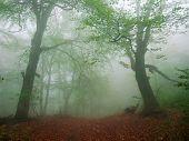 Beech Forest On Hillside In Early Autumn In Heavy Fog poster