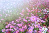 Beautiful Cosmos Flowers Blooming In Cosmos Field At Saraburi, Thailand, Flower Garden Concept poster