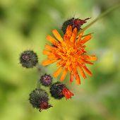 picture of collier  - Orange Hawkweed flowers  - JPG