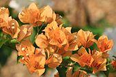 Beautiful Orange Bougainvillea Blooming, Bright Orange Bougainvillea Flowers As A Floral Background, poster