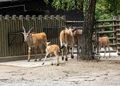 The Common Eland , Also Known As The Southern Eland Or Eland Antelope, Is A Savannah And Plains Ante poster