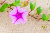 Pink Flowers In A Sand. Convolvulus Arvensis Or Field Bindweed. It Is A Species Of Bindweed That Is  poster