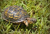 image of the hare tortoise  - Box turtle walking through a patch of green grass - JPG