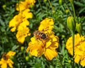 Bumblebee Collects Nectar With Blooming Yellow Marigolds On A Flower Bed poster