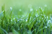Grass In The Dew. Stalks Of Grass With Large Drops Of Water On A Blurred Green Background. Lawn Clos poster
