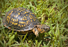 picture of the hare tortoise  - Box turtle walking through a patch of green grass - JPG