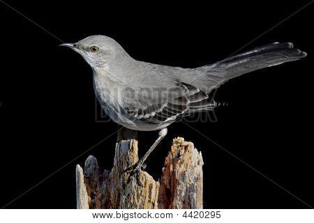 Mockingbird On Black