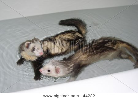 Pair Of Ferrets Having A Bath