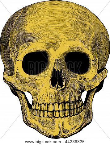 Human skull in engraved style