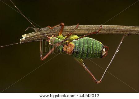 Close Up Of Grasshopper  Tettigoniidae