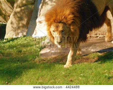 Lion Walking Through Jungle