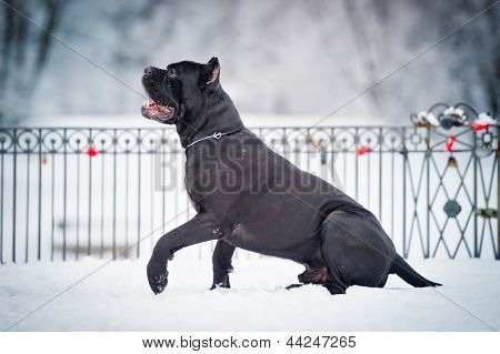 black cane corso dog winter portrait