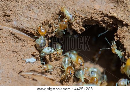 termite and queen termite  in hole.