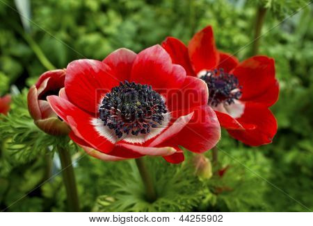 Red anamone flower.