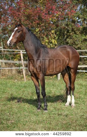 Nice Brown Warmblood In Autumn