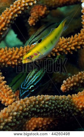 Tropical Fish With Staghorn Coral