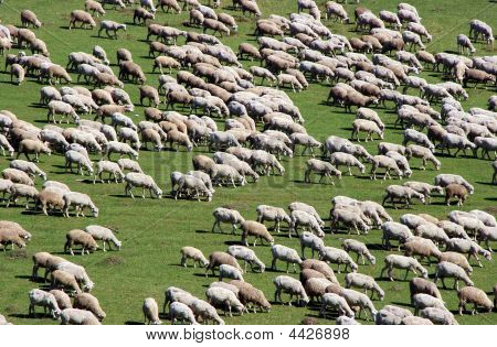 Herd Of Sheep On Green Meadow