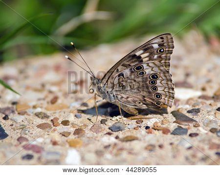 Hackberry emperador mariposa