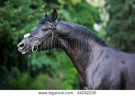stallion - breeder horse on green background