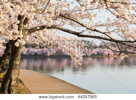 Detail Of Japanese Cherry Blossom Flowers