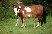 stock photo of fillies  - Paint horse mare with adorable foal on pasturage in summer