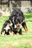 stock photo of bitches  - Bernese Mountain Dog bitch playing with puppies in the garden - JPG
