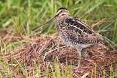 stock photo of snipe  - African snipe in wetland looking for food green grass water - JPG