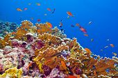 image of fire coral  - coral reef with fire coral and exotic fishes at the bottom of red sea in egypt