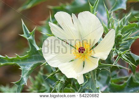 Invasive plant - Argemone ochroleuca