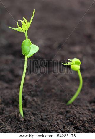 Baby Neem Plant