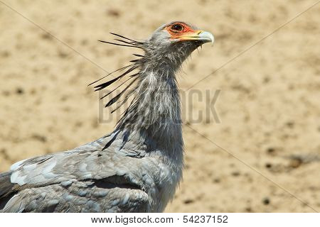 Secretary Bird - Wildlife Background from Africa - Funny Look
