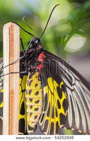 Female Golden Birdwing Butterfly