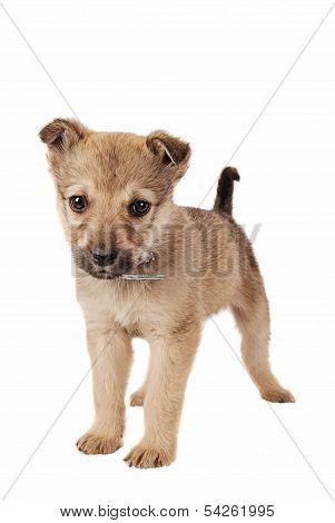 Brown Puppy On White
